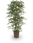"6'-1/2"" Green Ficus Bush with Basket"
